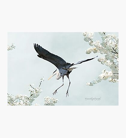 Great Blue Heron in Spring Photographic Print