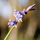 Common Bluebell by JEZ22