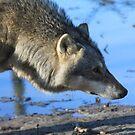 The Eurasian wolf by DutchLumix