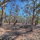 Australian gum forest by shaynetwright