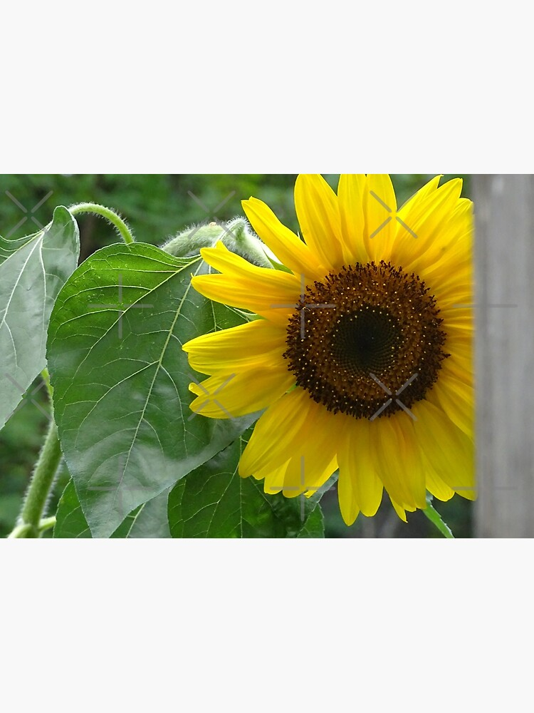 Sunflower  by PicsByMi