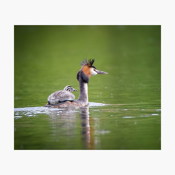 Great Crested Grebe Gift Photographic Print