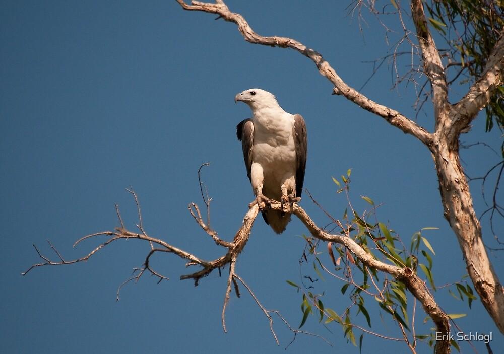 White-bellied Sea Eagle, Kakadu National Park, Australia by Erik Schlogl