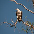 White-bellied Sea Eagle, Kakadu National Park, Australia by Erik Schlogl
