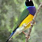 BLACK - HEADED  GOULDIAN FINCH by Raoul Madden