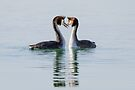 Crested Grebes in Courtship, Monte del Lago, Lago Trasimeno, Umbria, Italy by Andrew Jones