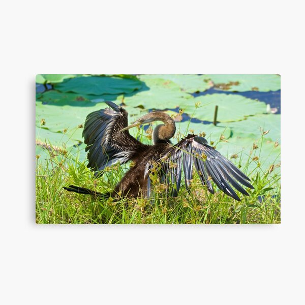 NT ~ MARINE BIRD ~ Australasian Darter YU6QPCY4 by David Irwin 15012021 Canvas Print