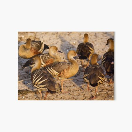 NT ~ WATERFOWL ~ Plumed Whistling Duck by David Irwin 15012021 Art Board Print