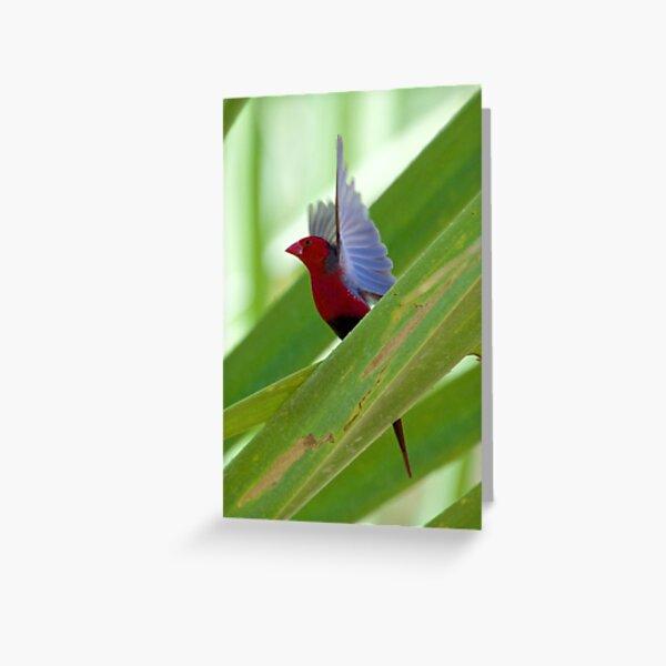NT ~ FINCH ~ Crimson Finch rz3V6EmX by David Irwin 15012021 Greeting Card