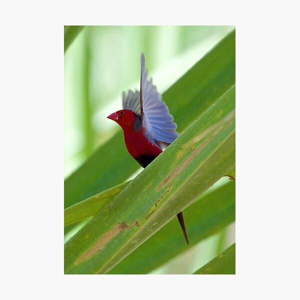 NT ~ FINCH ~ Crimson Finch rz3V6EmX by David Irwin 15012021 Photographic Print