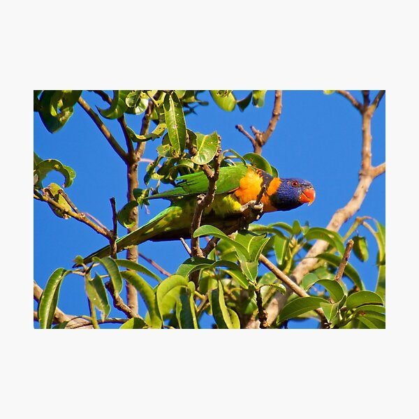 NT ~ PARROT ~ Red-collared Lorikeet BZ9KN5jt by David Irwin 15012021 Photographic Print