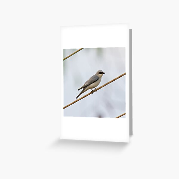 NT ~ CUCKOOSHRIKE ~White-bellied Cuckooshrike H46BFP3S by David Irwin 15012021 Greeting Card