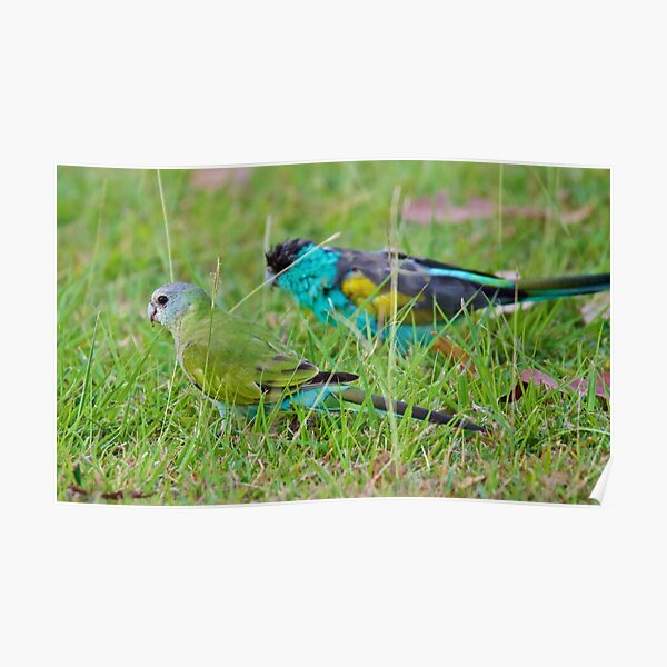 NT ~ PARROT ~ Hooded Parrot by David Irwin 15012021 Poster