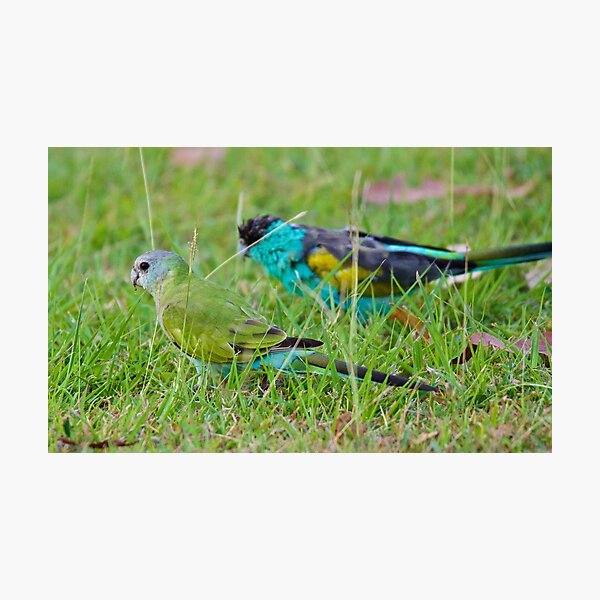NT ~ PARROT ~ Hooded Parrot EmG5sdPF by David Irwin 15012021 Photographic Print