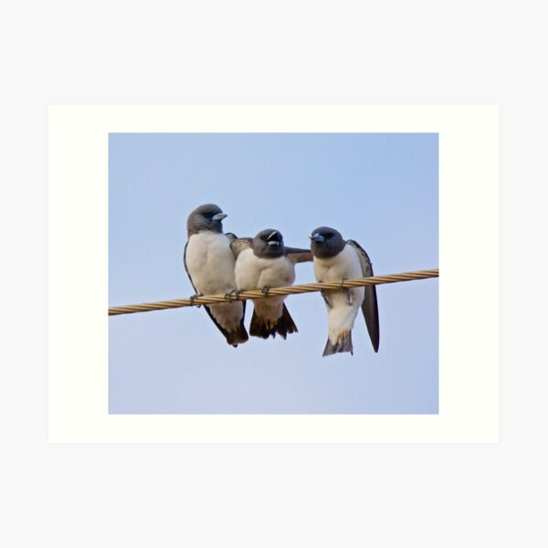 NT ~ SWALLOW ~ White-breasted Woodswallow YNW2KSGZ by David Irwin 15012021 Art Print