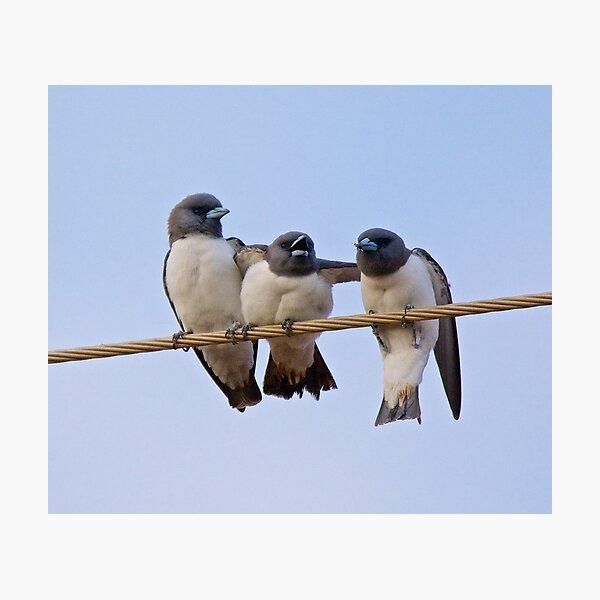 NT ~ SWALLOW ~ White-breasted Woodswallow YNW2KSGZ by David Irwin 15012021 Photographic Print