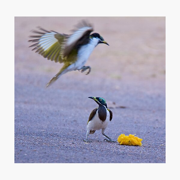 NT ~ HONEYEATER ~ Blue-faced Honeyeater Re2EVCMh by David Irwin 15012021 Photographic Print