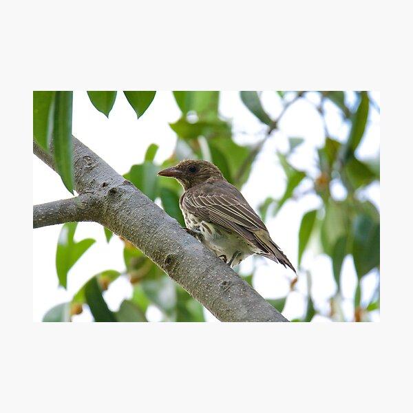 NT ~ FIGBIRD ~ Australasian Figbird nmGqHBdd Juvenile by David Irwin 15012021 Photographic Print