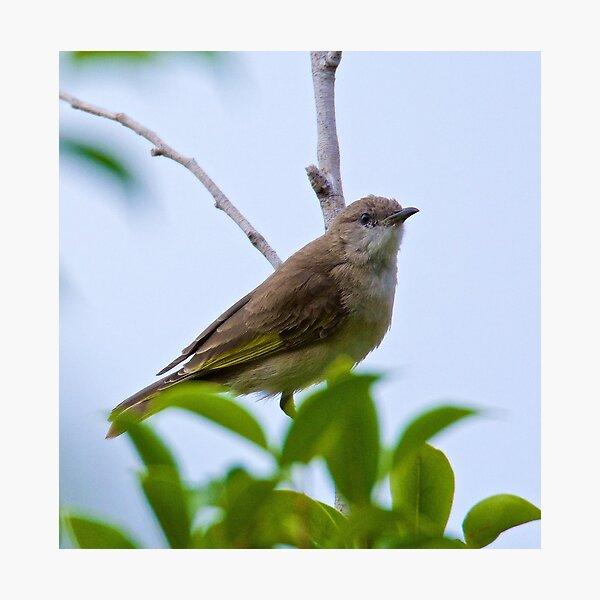 NT ~ HONEYEATER ~ Rufus-banded Honeyeater zbRsAeMN Juvenile by David Irwin 15012021 Photographic Print
