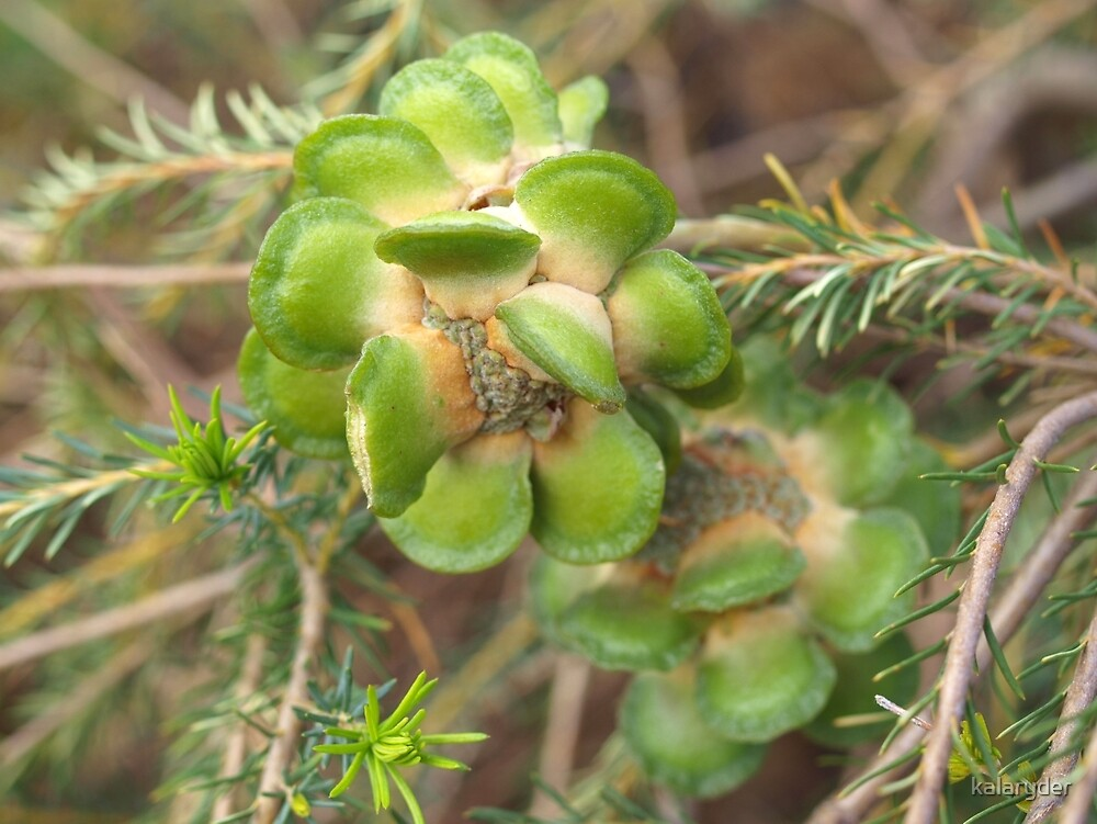 Banksia laricina Fruit by kalaryder