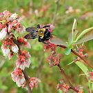 Bumble Bee on a Blueberry Bloom by RickDavis