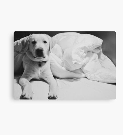 Sleepy Labrador Canvas Print