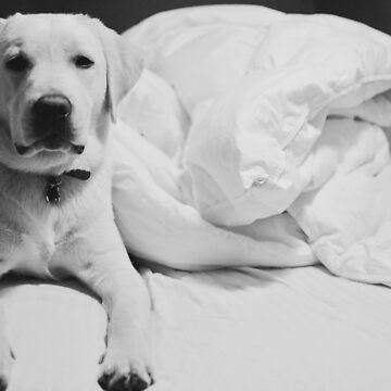 Sleepy Labrador by louisefahy