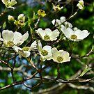 White Blossoms by Scott Mitchell
