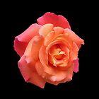 Sunkissed Orange Rose by VoxCeleste