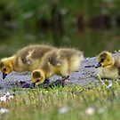 goslings getting their grub on by dedmanshootn