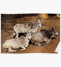 zebu bull Poster
