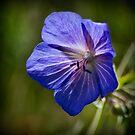 Wild Geranium Flower by Colin Metcalf