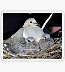 MAMMA MOURNING DOVE WITH HER TWO SQUABS Sticker