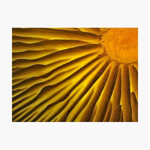 Mushroom gills under the microscope Photographic Print