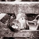 Pig on the farm by Robert  Taylor