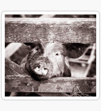 Pig on the farm Sticker