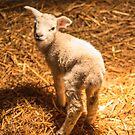 Little lamb 2 by Robert  Taylor