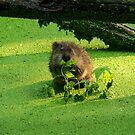Muskrat Susie or Muskrat Sam by Shelley Neff