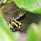 Dart Frog by Okeesworld