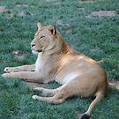 Lioness by Okeesworld