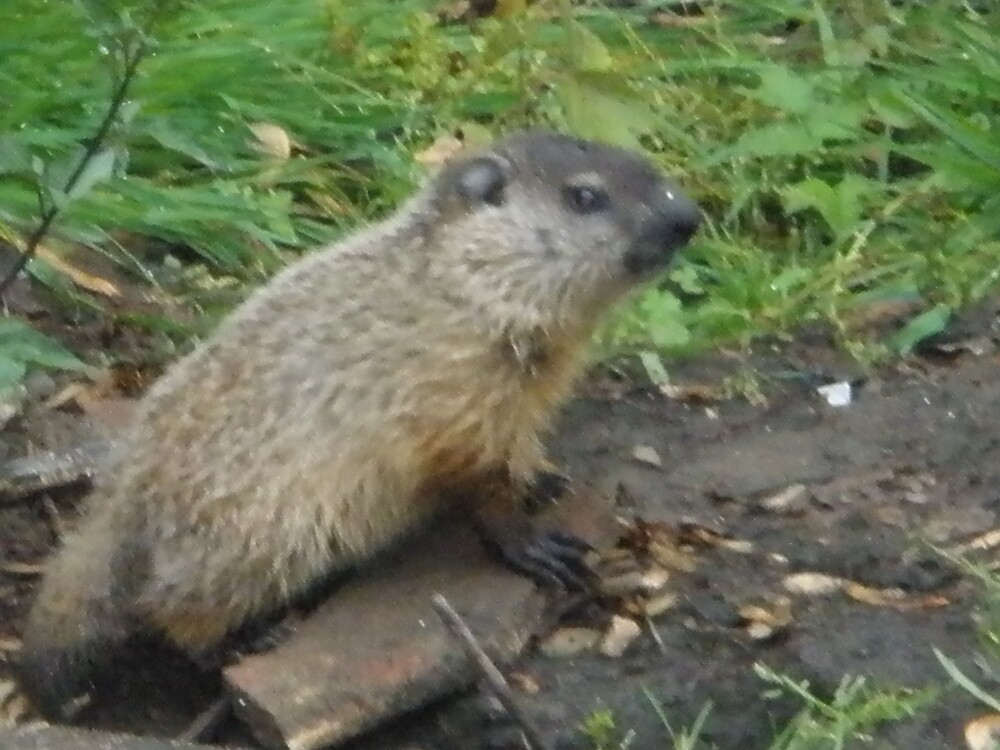 baby groundhog by ssphotoshop