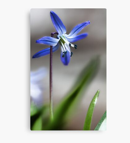 Early Spring Beauty - Canvas Print