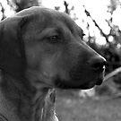 Dogs Gaze by Casey VanDehy