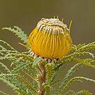 Dryandra stuposa  by Rick Playle