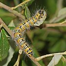 Buff-tip Moth Caterpillar by MikeSquires