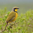 Yellow Bird by Macky