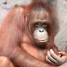 Baby Orangutan by Wendy Sinclair