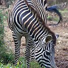 Hungry Zebra by Wendy Sinclair