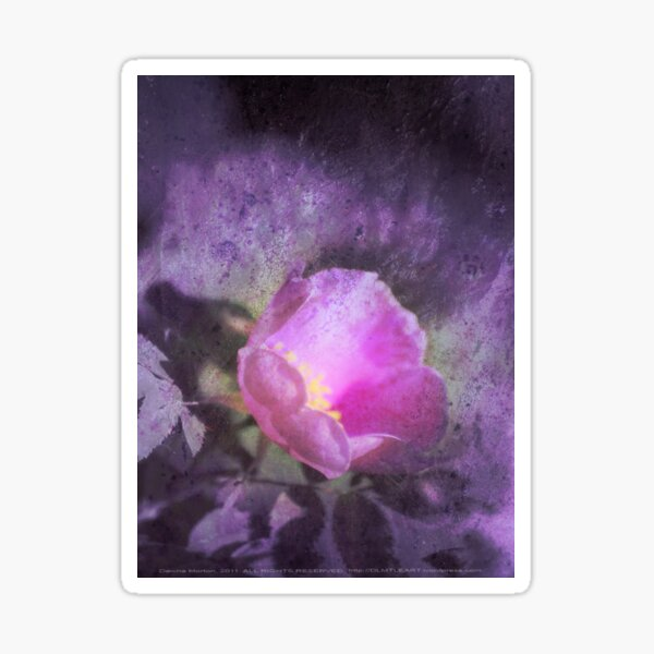Old fashioned pink rose, purple texture Sticker