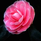 Softness of a pink camelia by Karen  Betts